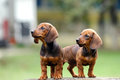 Dachshund puppy two puppies sitting on a bench careful Royalty Free Stock Photos