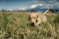 Dachshund puppy walks in the long grass Royalty Free Stock Photo