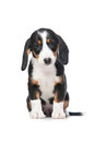 Dachshund puppy, Westphalian Dachsbracke Royalty Free Stock Photo