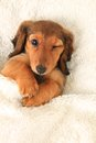 Dachshund puppy winking longhair in bed Royalty Free Stock Images