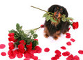 Dachshund and Roses Royalty Free Stock Image