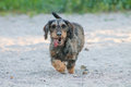 A dachshund running