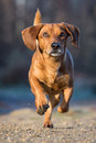 Dachshund smooth is a small dog Stock Image
