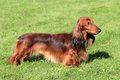 Dachshund standard long haired red dog on the green grass Royalty Free Stock Images