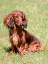Dachshund standard long haired red dog typical Royalty Free Stock Photo