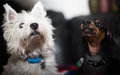 Dachshund and West highland white terrier Royalty Free Stock Photo