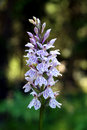Dactylorhiza maculata, Heath Spotted Orchid Royalty Free Stock Photo