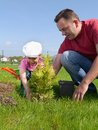 Dad and daughter gardening his little planting together thuja tree in the garden Royalty Free Stock Photography