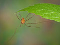 Daddy long legs hanging from leaf Stock Photos