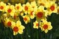 Daffodil Fotografia Royalty Free