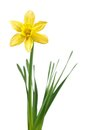 Daffodil Royalty Free Stock Photos