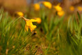 Daffodil on bright spring day close up of Royalty Free Stock Image