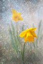Daffodil on bright spring day close up of Royalty Free Stock Images