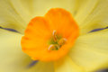Daffodil close up of a shallow depth of field to create blur and softness Royalty Free Stock Photo