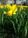 Daffodil closeup Royalty Free Stock Photo
