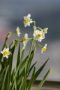 Daffodil cluster of tiny white and yellow blooms daffodils are perennial bulb or rhizome flowers within the family of narcissus Royalty Free Stock Photo
