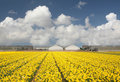 Daffodil field Royalty Free Stock Photo