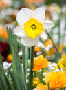 Daffodil flower in a flowe bed Royalty Free Stock Photo