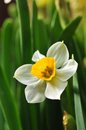 Daffodil flower macro with leaf background Stock Photos