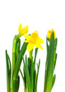 Daffodil flower or narcissus bouquet