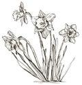 Daffodil flower or narcissus flower