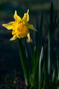 Daffodil flower yellow in spring sunlight Royalty Free Stock Photography