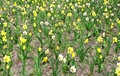 Daffodil flowers in bloom Royalty Free Stock Photography
