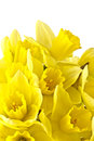 Daffodil flowers blooming with white background and copy space Stock Images