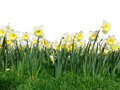 Daffodil flowers foreground of yellow blooming and swinging under a sunny spring at lisse keukenhof netherlands isolated on white Stock Image