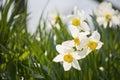 Daffodil on the ground nahaufnahme einer kleinen gruppe wei�er narzissen narcissus poeticus im gras mit geringer Royalty Free Stock Images