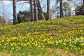 Daffodil hill image of lakeview cemetery cleveland ohio Royalty Free Stock Photos