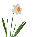 Daffodil isolated on a white background Stock Photography