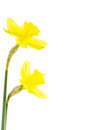 Daffodil with papery spathe daffodils yellow perianth and corona isolated on white Royalty Free Stock Image