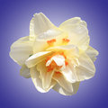 Daffodil on purple gradient light yellow radial background Royalty Free Stock Photography