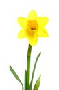 Daffodil single in front of a white background Royalty Free Stock Image