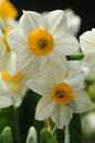 Daffodil spring flower macro pistil Stock Photography