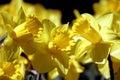 Daffodil Trio Royalty Free Stock Photo