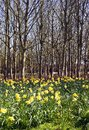 Daffodil Woods Royalty Free Stock Images