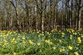 Daffodil Woods. Royalty Free Stock Photos