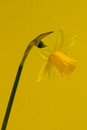 Daffodil on yellow a background Royalty Free Stock Photos