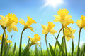 Daffodil yellow flower in the field Stock Images