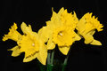 Daffodils Against Black Backgr...