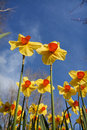 Daffodils against a blue sky Stock Photo