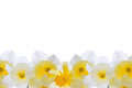Daffodils background Royalty Free Stock Photo
