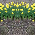 Daffodils Background Templates Royalty Free Stock Photo