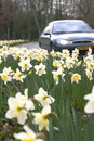 Daffodils in the berm Stock Photos