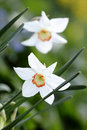 Daffodils in Bloom in Spring Royalty Free Stock Photo