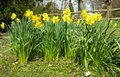 Daffodils in countryside yellow bloom spring a park wild garden wooden fence and trees surrounding the park Stock Image