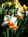 Daffodils flower bed Royalty Free Stock Photo