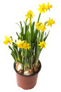 Daffodils in a flower pot Royalty Free Stock Images